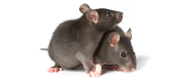 mice infestation, mouse droppings cleanup, basement insulation